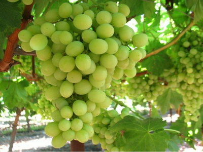 EgyptianGrapes